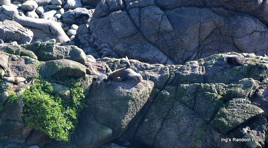 Westport, Νέα Ζηλανδία: Seals and their pups at Cape Foulwind Walkway (photo zoomed so you can pick out the four seals).