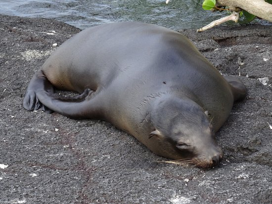 Isabela, Ecuador: Sea Lion