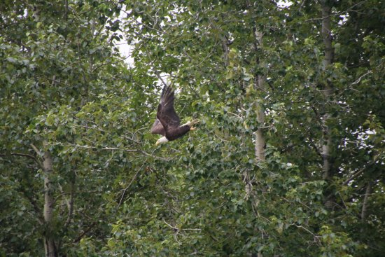 Haines, Аляска: One of the eagles we saw.
