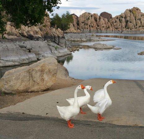 Prescott, AZ: Geese at Watson Lake
