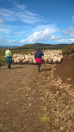 Ford, UK: Gathering sheep off the hill