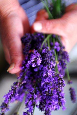 Virginstow, UK: Lavender