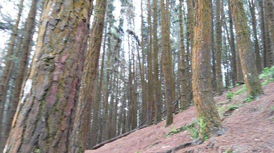 Pine Valley - Vagamon - Picture of Vagamon Pine Forest ...