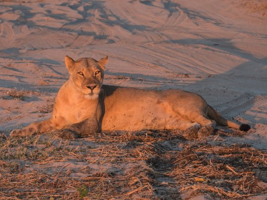 Kasane, Botswana: Lioness relaxing in the evening sun in the Chobe National Park