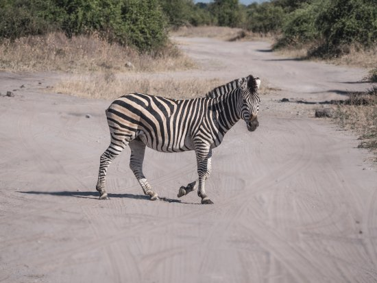Kasane, Botswana: Zebra Crossing!