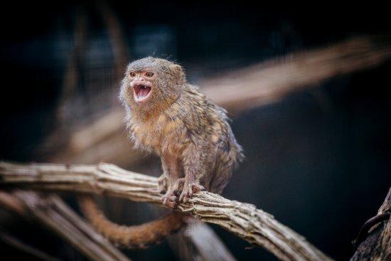 Cleres, Francia: les ouistitis pygmées, nouveauté 2017