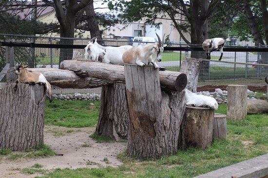 St. Catharines, Canadá: The goats' pen