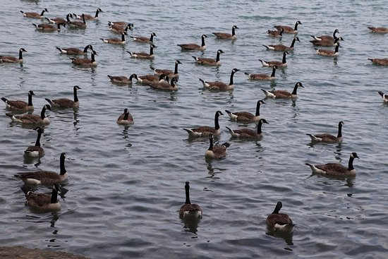 St. Catharines, Canada: Lots of Canadian geese