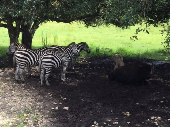 Clewiston, FL: Zebra