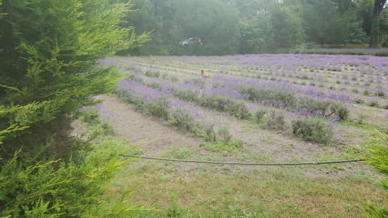 Sprigs Cafe at Jersey Lavender : views outside, smells are amazing