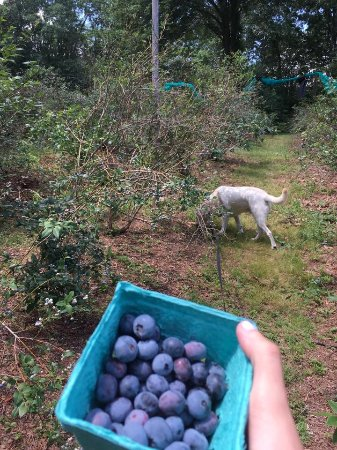 North Andover, MA: Blueberry picking with my pup