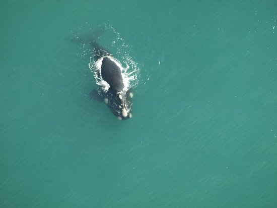 Stanford, Sudáfrica: Southern right whale