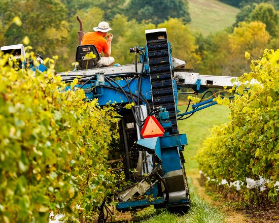 Mount Airy, MD: Harvesting the grapes.