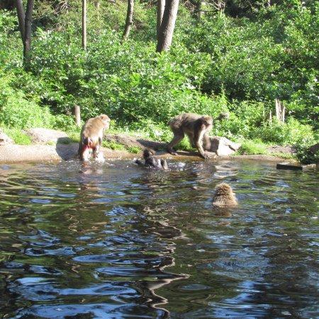 Landskron, Austria: scimmie in piscina