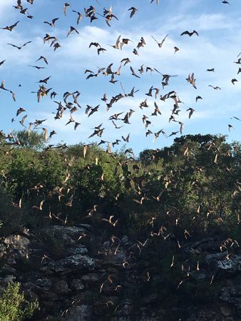 Concan, TX: Bats exiting the cave