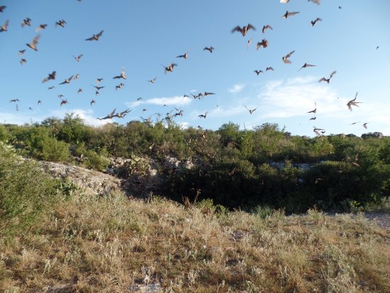 Concan, TX: bats coming out