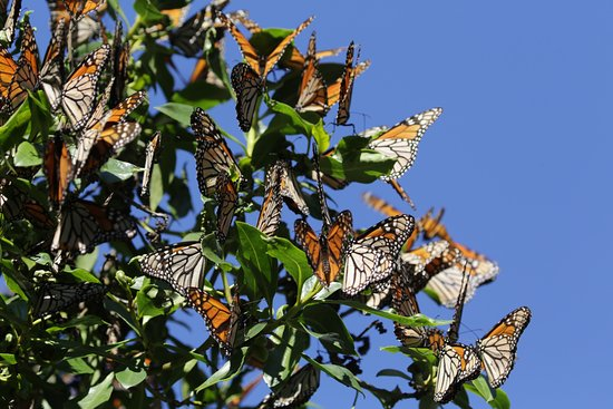 Monarch Erfly Grove Monarchs In Pismo Beach January 2017