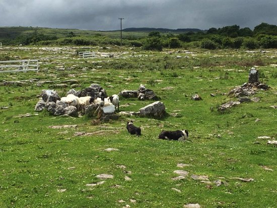 Caherconnell, Ireland: Sheepdog Demo
