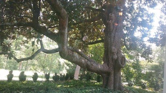 Winston Salem, Carolina do Norte: 100-year-old tree outside the Lake Room.