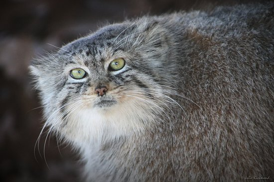 Roanoke, VA: Pallas cat