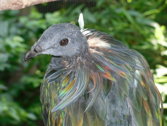 Roanoke, Вирджиния: Nicobar pigeon