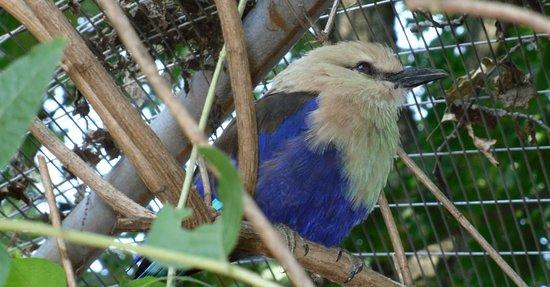 Roanoke, VA: blue-bellied roller