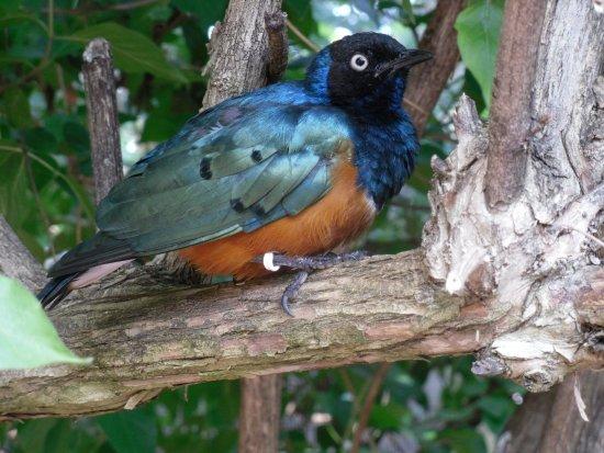 Roanoke, VA: superb starling