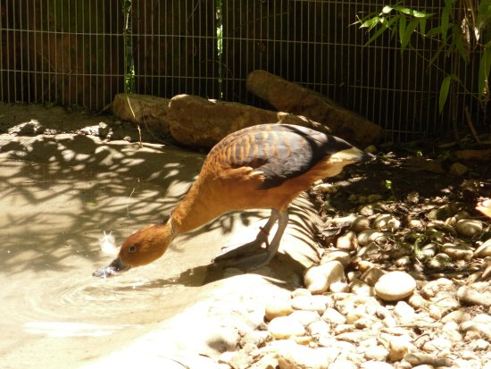 Roanoke, VA: fulvous whistling duck