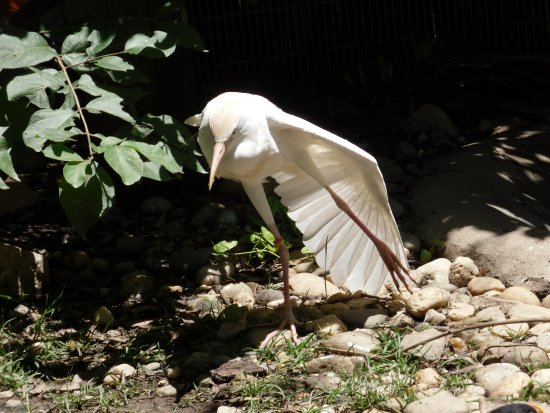 Roanoke, Вирджиния: cattle egret