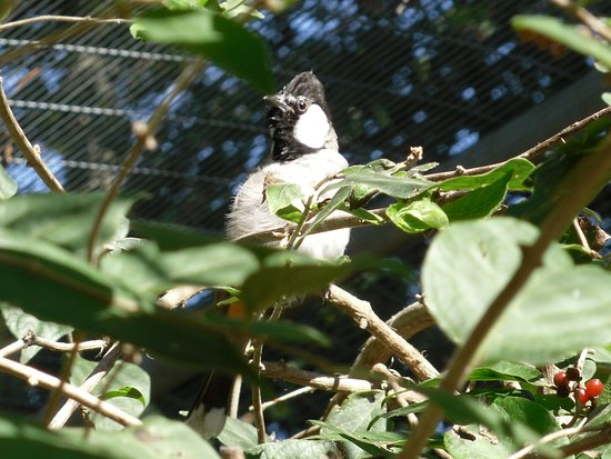 Roanoke, Вирджиния: white cheeked bulbul