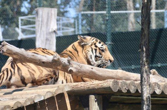 Zoo Santo Inácio : Bengal Tiger