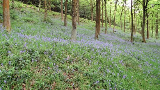 Peak District National Park, UK: Fields of bluebells along the hike