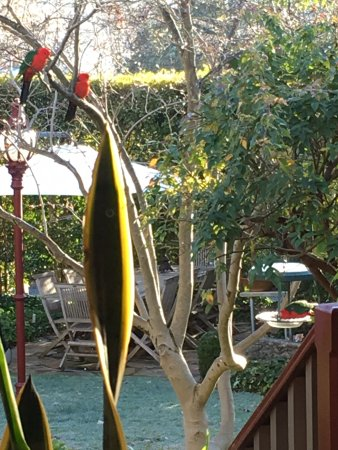 Beechworth, Australien: Male King parrots enjoying the gardens