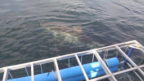 African Shark Eco-Charters: Shark near cage