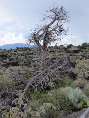Carrizozo, NM: Lava field and juniper tree