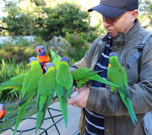 Currumbin, Australia: Free lorikeet feeding