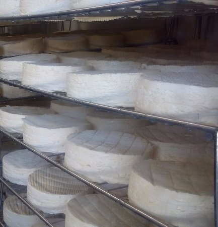 Argentan, Frankreich: Resting Camembert cheeses
