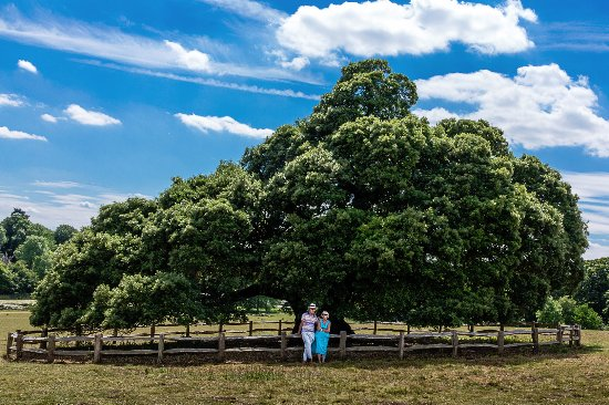 Buckingham, UK: Stowe, specimen tree