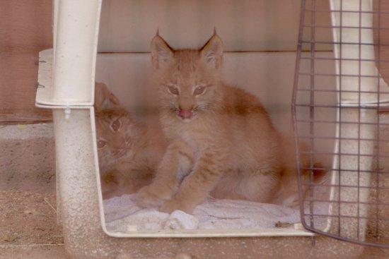 Heritage Park Zoo : lynx kittens