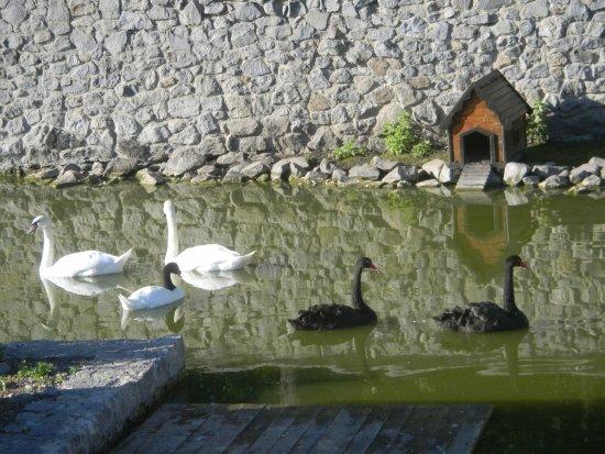 Myrhorod, Ucrânia: Лебеди