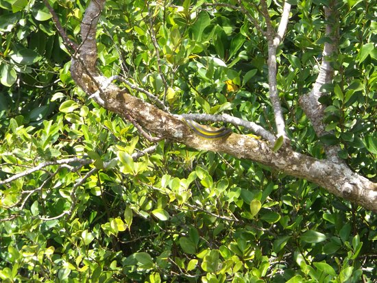 Daintree, Αυστραλία: A tree snake