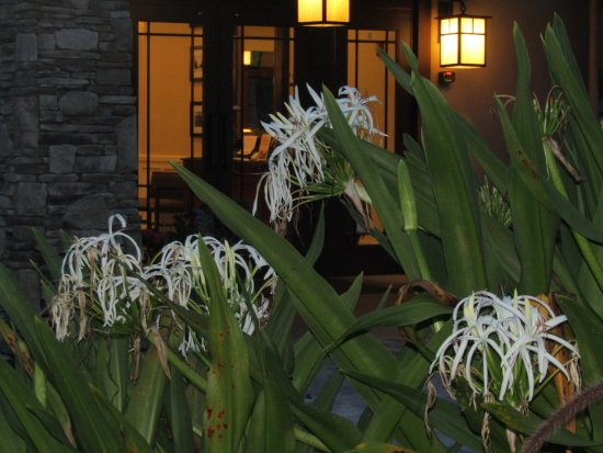Stone Creek Golf Club: Beautiful Spider lilies in front of the building