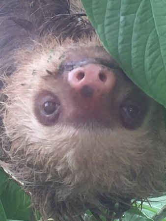 Santa Ana, Costa Rica: two-toed sloth spotted on way to zip-line tour in La Fortuna