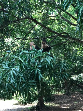 Santa Ana, Costa Rica: capuchin monkeys met on the way to Manuel Antonio from La Fortuna