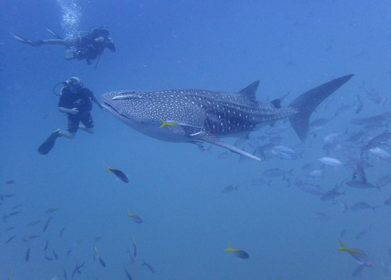 Mae Nam, Thailand: Sail Rock Diving Whale Shark 20 July