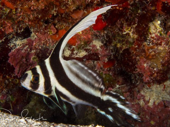 George Town, Grand Cayman: Spotted Drum