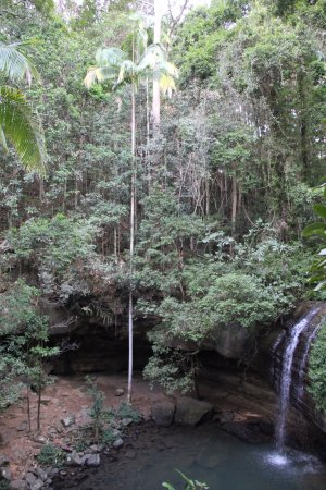 Buderim, Australia: Arbre gigantesque