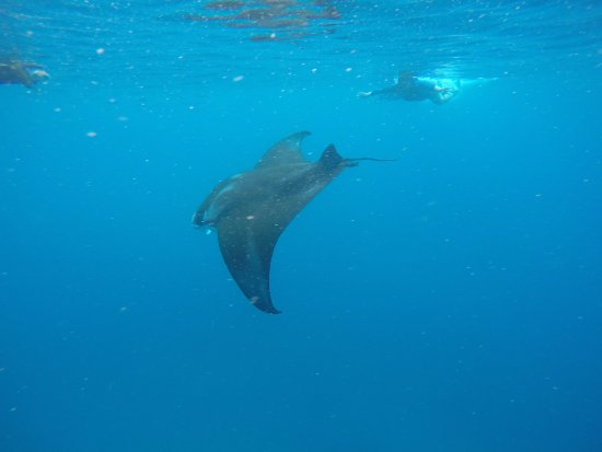 ‪فانوا ليفو, فيجي: Snorkeling within feet of massive mantas. Holy cow!‬