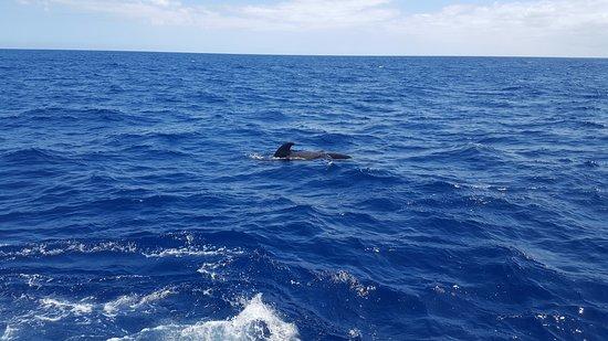 Arona, Espanha: a lone dolphin