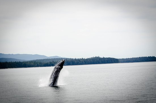 Prince Rupert, Canada: Humpback we saw on the way